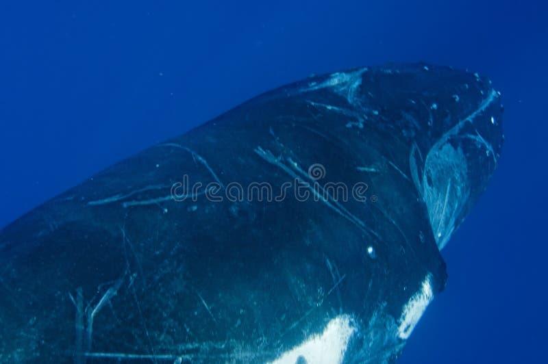 Gebocheldewalvissen onderwater stock afbeeldingen
