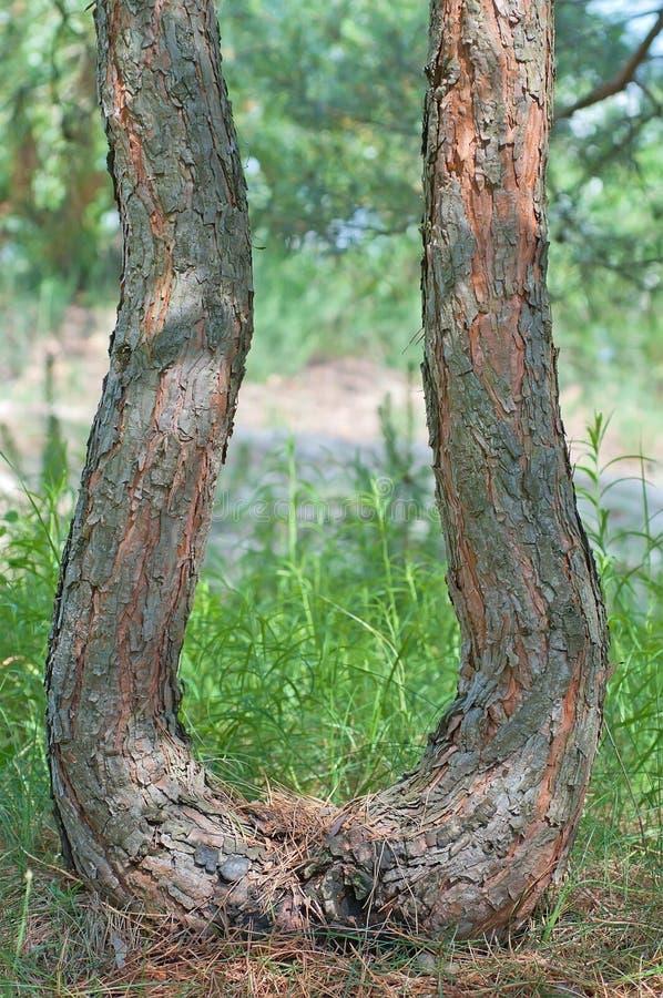 Gebogen boomstam van een pijnboom. stock afbeeldingen