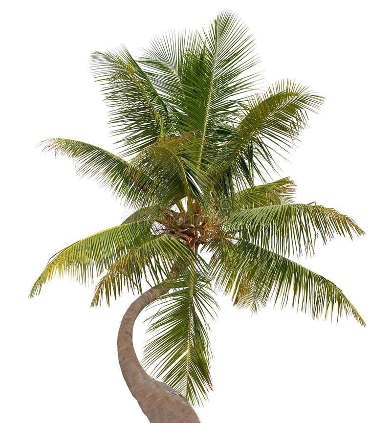 Gebogen die Kokosnotenpalm op Wit wordt geïsoleerd royalty-vrije stock foto