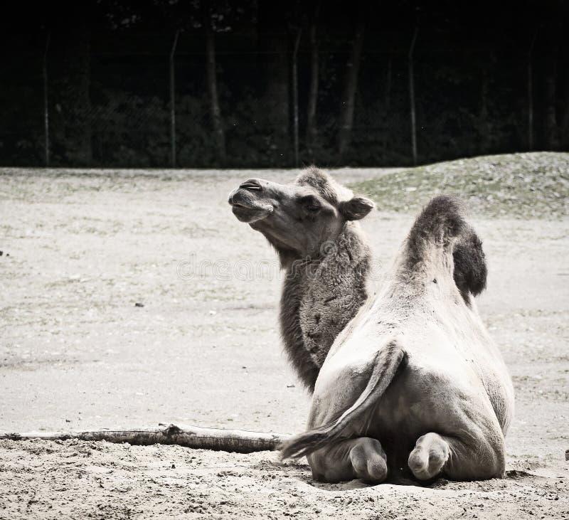 Gebogen kameelportret royalty-vrije stock foto