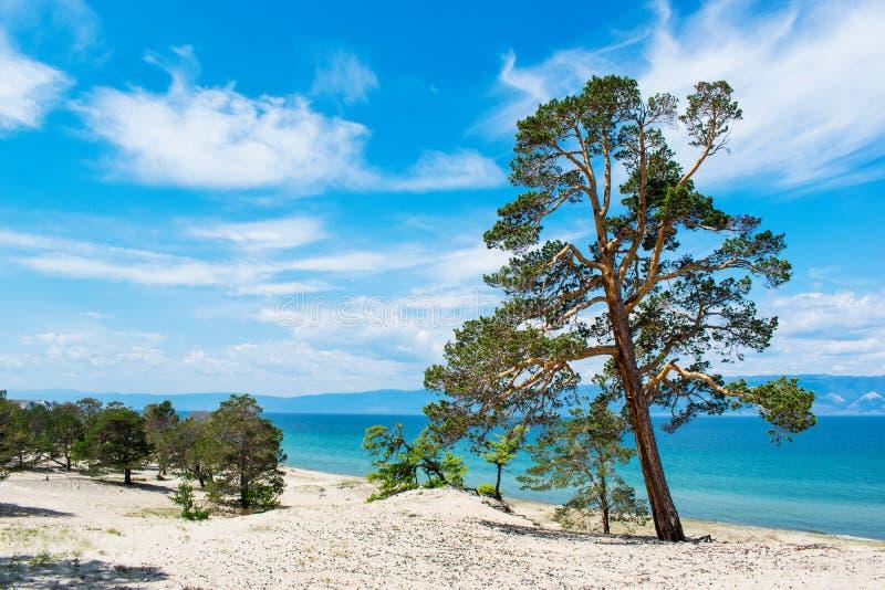 Gebogen pijnboombomen op de zandige kust van het meer Meer Baikal Landschap royalty-vrije stock afbeelding