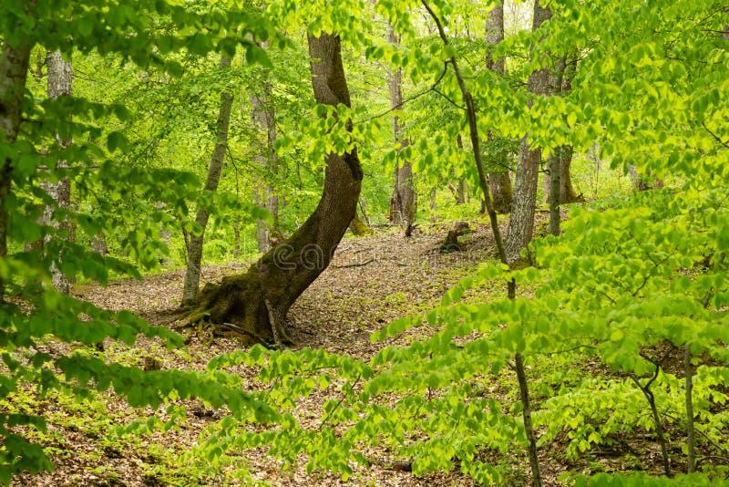 Gebogener Baum im Wald stockfotos