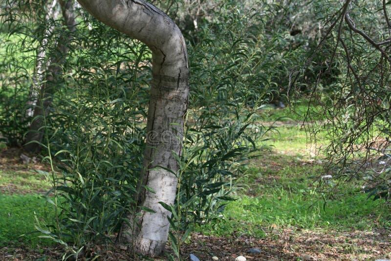 Gebogener Eukalyptusbaumstamm stockfotos