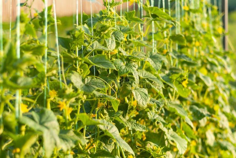 Gebonden met streng lange zweep van komkommer Het kweken van plantaardige cultuurkomkommer in het tuingebied royalty-vrije stock afbeeldingen