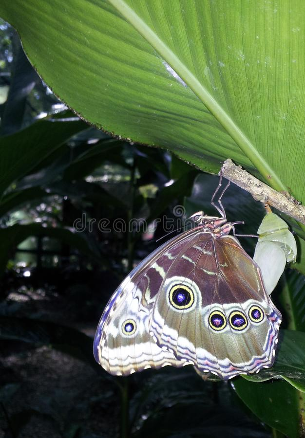 Geboorte van blauwe morphovlinder stock foto's