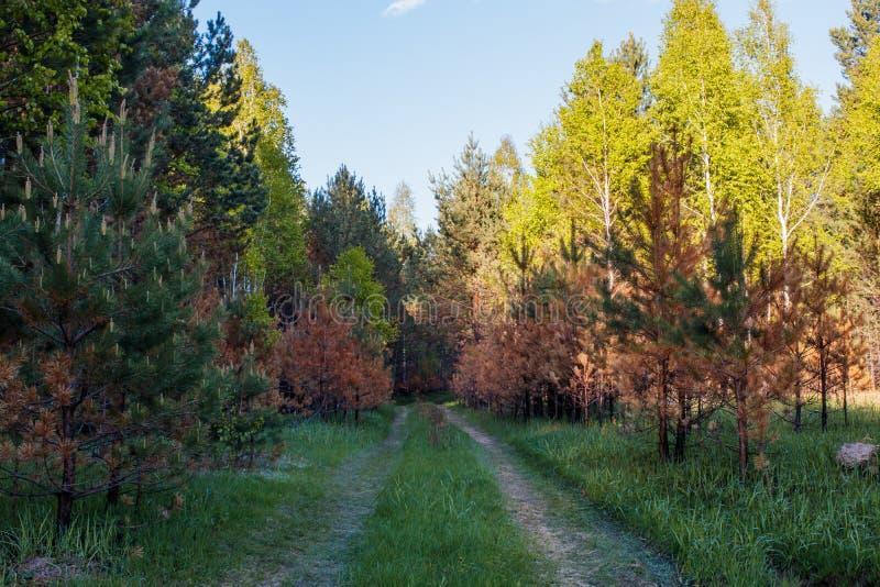 Gebrande jonge pijnbomen tijdens bodembrand Groen de lentebos in zonstralen royalty-vrije stock afbeeldingen