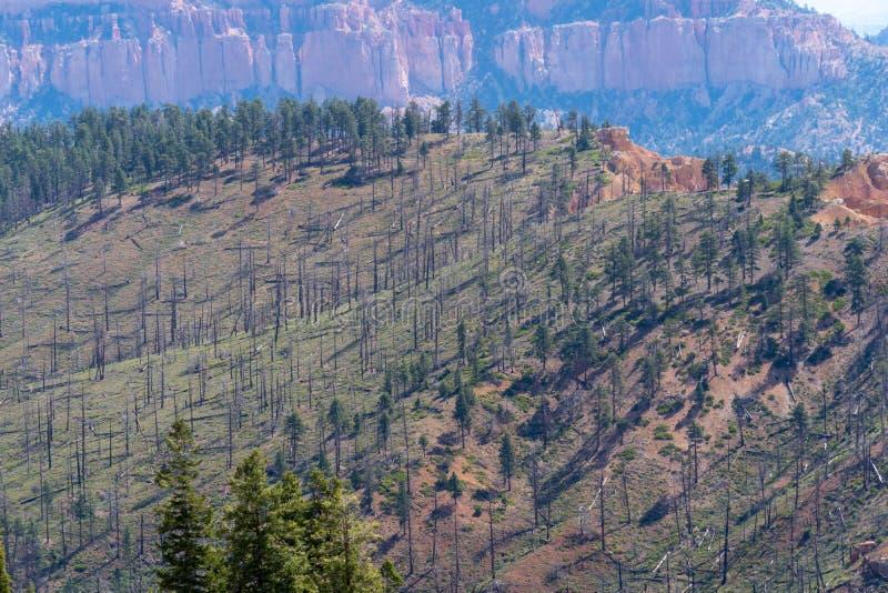 Gebrande, verkoolde bomen van een bosbrand in het nationale park van Bryce Canyon stock foto
