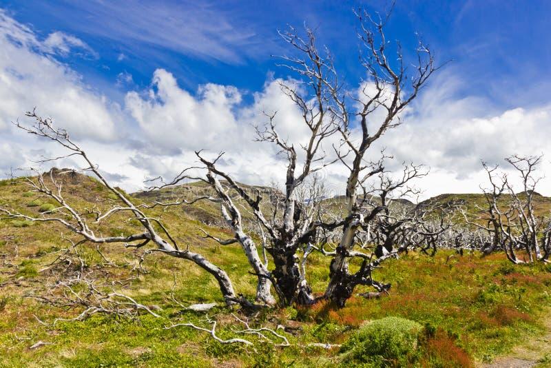 Gebrannte Bäume in Naturschutzpark Torres Del Paine lizenzfreie stockfotos