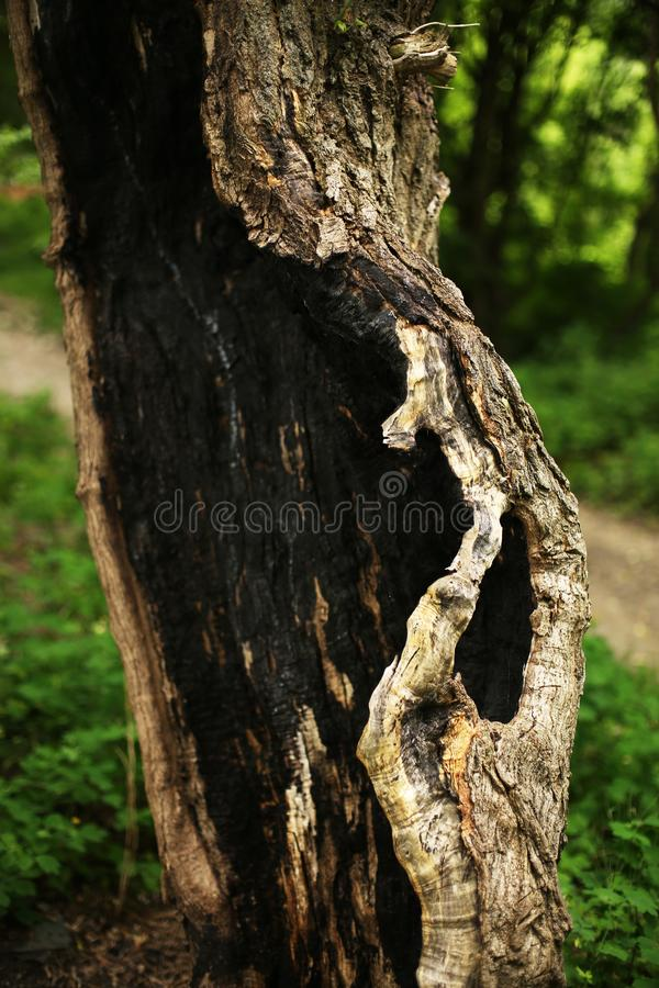 Gebrannter Barkenbaum in der Natur stockfotos