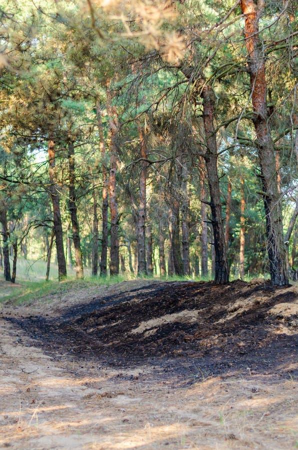 Gebrannter Bereich des Waldes nach der unfähigen Behandlung des Feuers durch Touristen stockfotografie