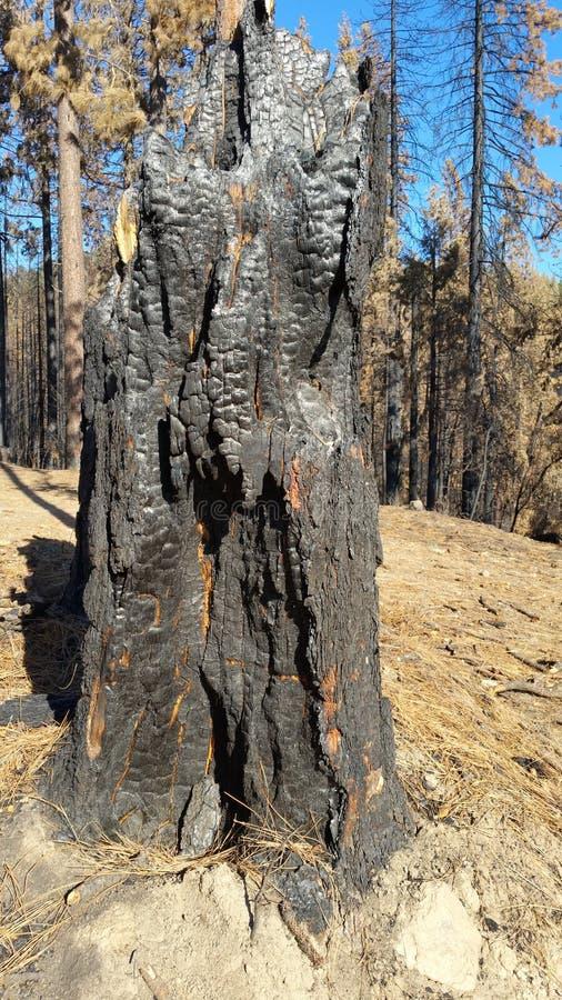 Gebrannter Pinetree-Stumpf lizenzfreies stockbild