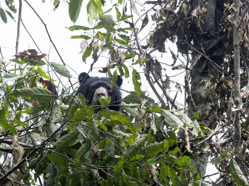 Gebrild draag, Tremarctos-ornatus, wordt gevoed op een boom in het berg mistige bos van Maquipucuna, Ecuador royalty-vrije stock foto