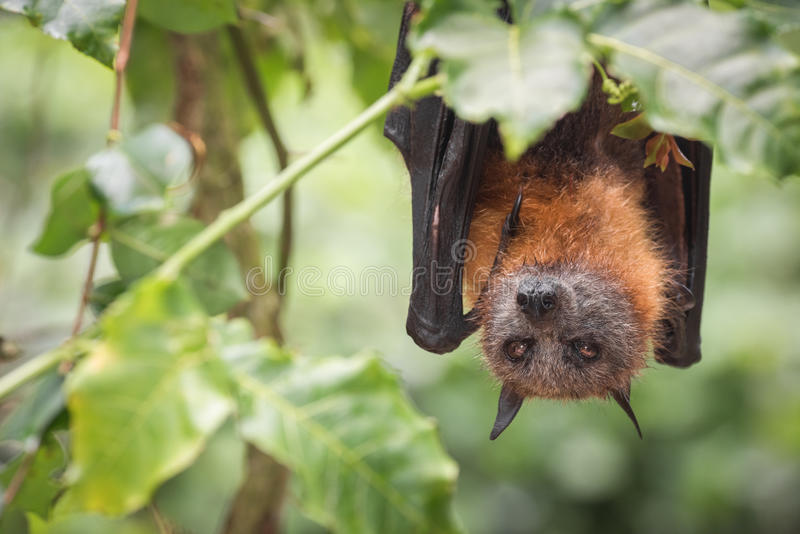 Gebrilde Vleerhondknuppel die Fig. eten stock foto's