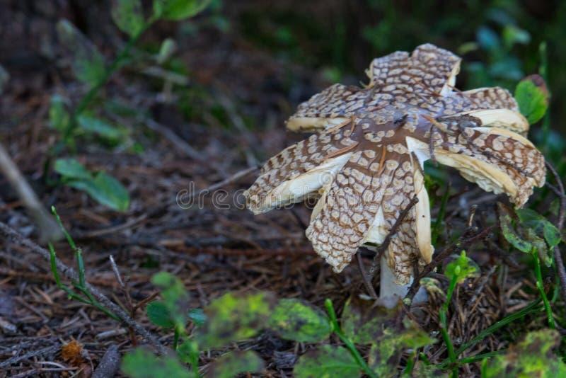 Gebrochener brauner Fliegenpilz auf dem Boden mit Gras Schöner wachsender Wulstling im Waldgift-Pilzkonzept lizenzfreie stockfotos