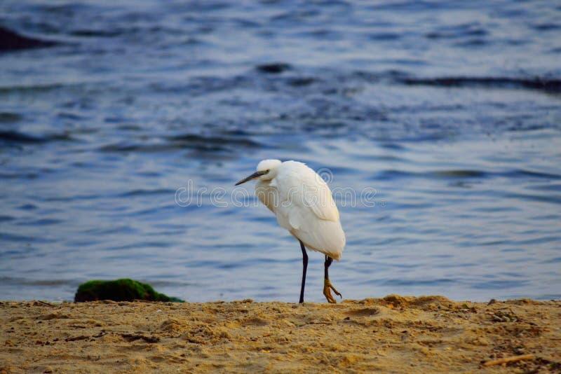 Gebrochenes Bein des einsamen weißen Vogels auf sandigem Strand stockbilder