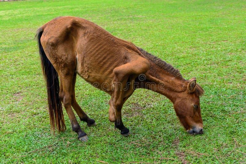 Gebroken beenpaard die gras eten royalty-vrije stock afbeeldingen