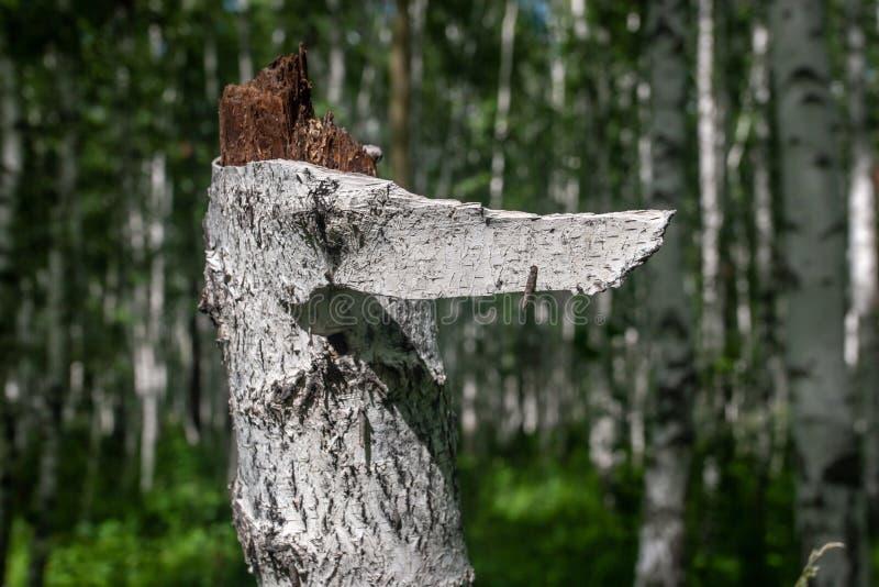 Gebroken boomstam van een oude berk met gescheurd van schors in de vorm van een wijzer royalty-vrije stock afbeelding