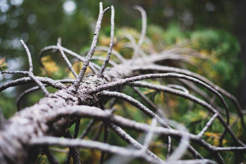 Gebroken dode pijnboomboom in het bos in Spanje stock foto