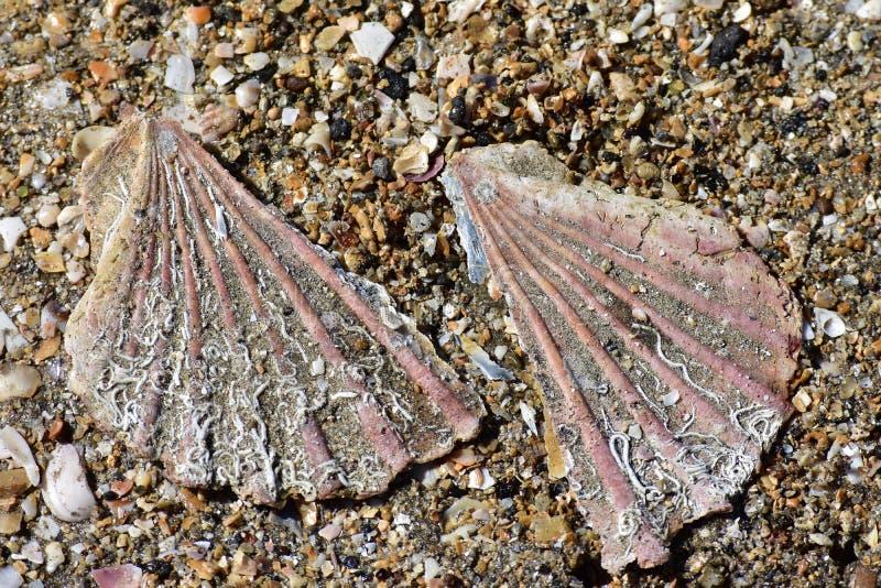 Gebroken kammosselshell op zand royalty-vrije stock afbeelding