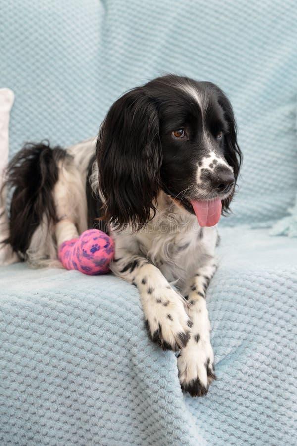 Gebroken maar nog glimlachend Een hond met een gebroken been op een bank royalty-vrije stock afbeelding