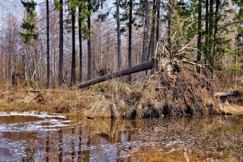 Gebroken oude pijnboom na een onweer De herfstbos in een bosmeer wordt weerspiegeld dat De gouden Herfst Bezinning van de hemel i stock fotografie