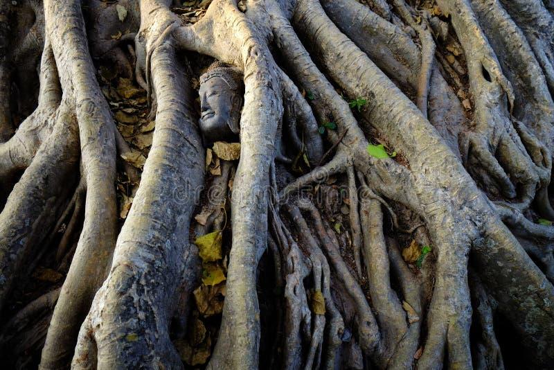 Gebroken standbeeld van Boedha die onder machtige boomwortels dichtbij Wat Mahathat in Ayutthaya, Thailand liggen stock afbeeldingen