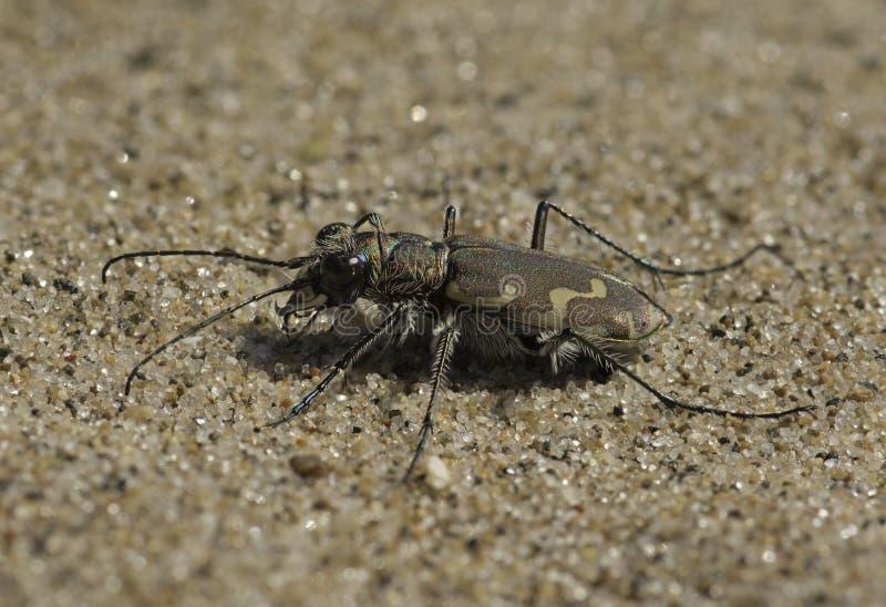 Gebronst Tiger Beetle stock afbeeldingen