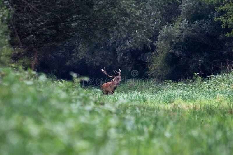 Gebrul van majestueus krachtig volwassen rood hertenmannetje in groen bos stock fotografie