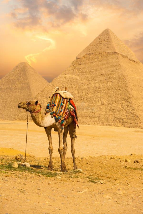 Gebundenes Kamel, das vordere Pyramiden V steht lizenzfreie stockbilder