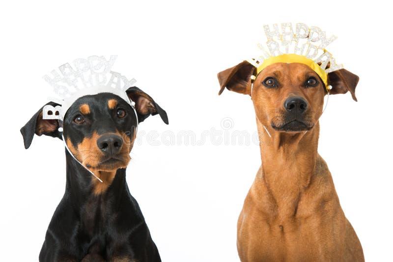 Geburtstagshunde lizenzfreie stockfotos