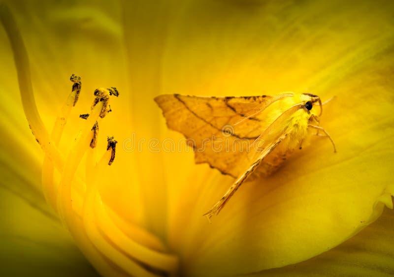 Gecamoufleerd kanarie-Gesteund Thorn Moth in Daylily stock foto's