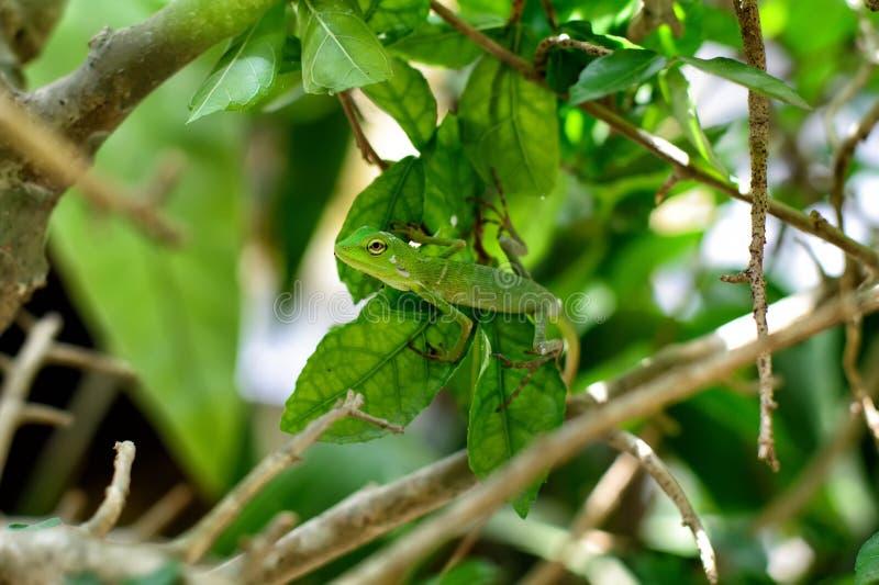 Geckoödla (förlagen av förklädnaden) royaltyfri fotografi