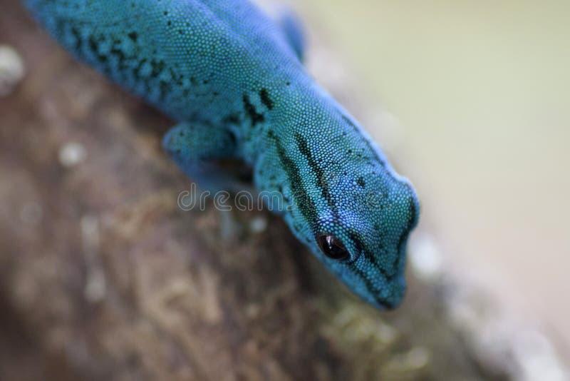 Gecko électrique bleu de jour images libres de droits