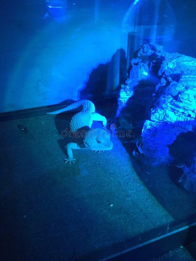 Gecko λεοπαρδάλεων στο φως νύχτας στοκ εικόνες