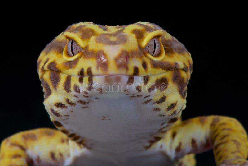 Gecko λεοπαρδάλεων στοκ εικόνα με δικαίωμα ελεύθερης χρήσης