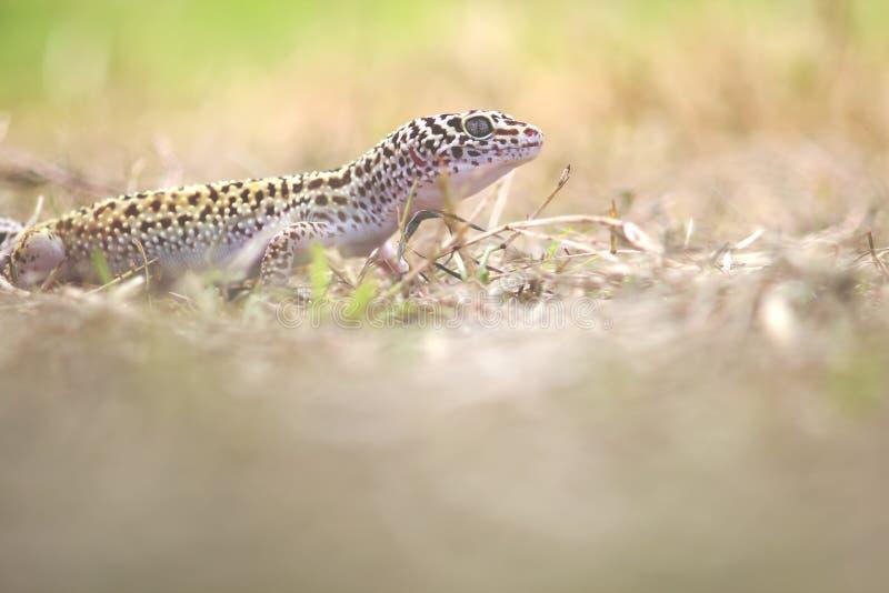 Gecko, ζώο, ερπετό, άγρια φύση, φύση, στοκ εικόνα