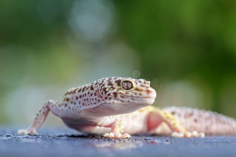 Gecko, ζώο, ερπετό, άγρια φύση, φύση, στοκ φωτογραφία με δικαίωμα ελεύθερης χρήσης