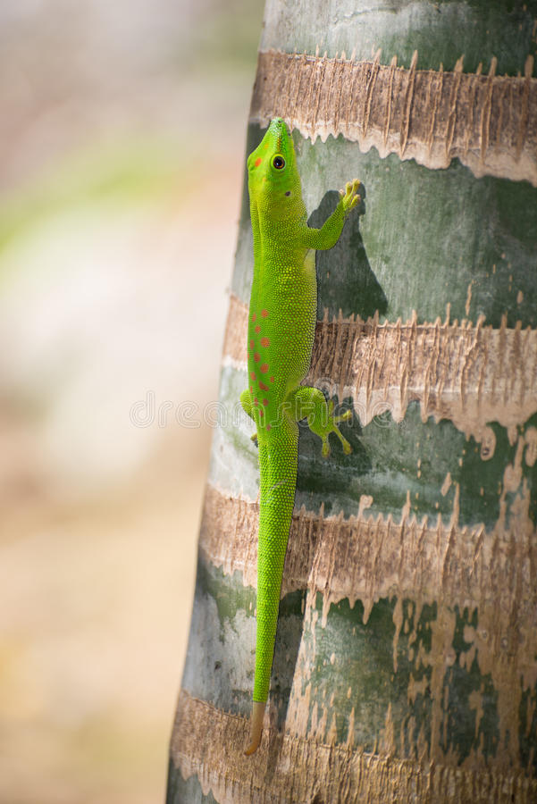 Gecko ημέρας της Μαδαγασκάρης στοκ εικόνες με δικαίωμα ελεύθερης χρήσης