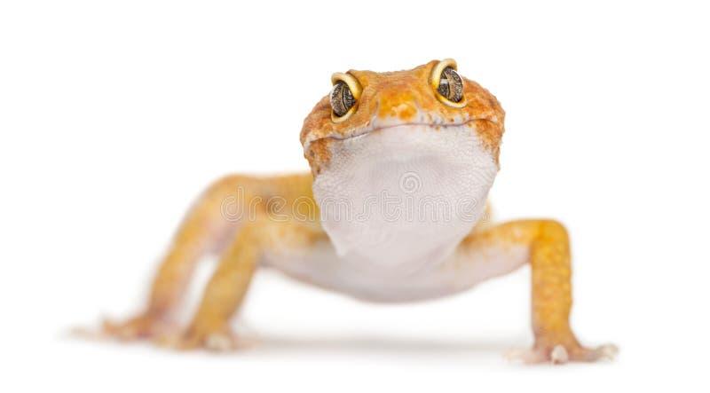 Gecko λεοπαρδάλεων που αντιμετωπίζει τη κάμερα, στοκ εικόνα
