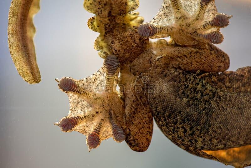 Gecko πετάγματος Kuhl ` s kuhli Ptychozoon στοκ εικόνες