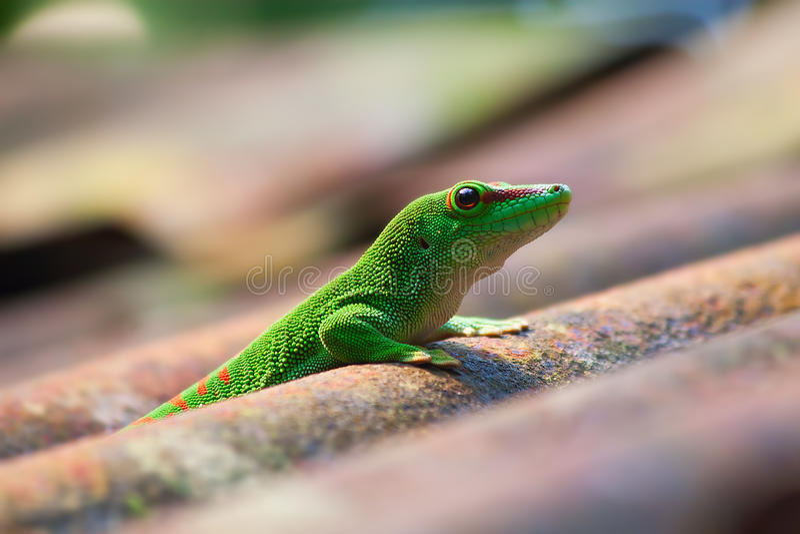 gecko πράσινο στοκ εικόνα με δικαίωμα ελεύθερης χρήσης