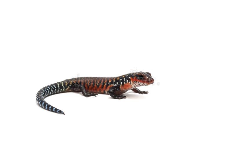 Gecko σαυρών που απομονώνεται στο λευκό στοκ εικόνα