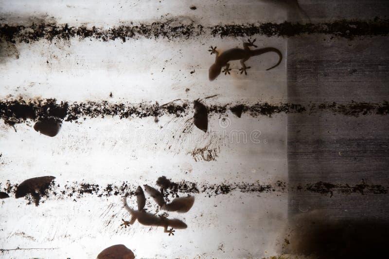 Gecko στην πλαστική στέγη στοκ φωτογραφία
