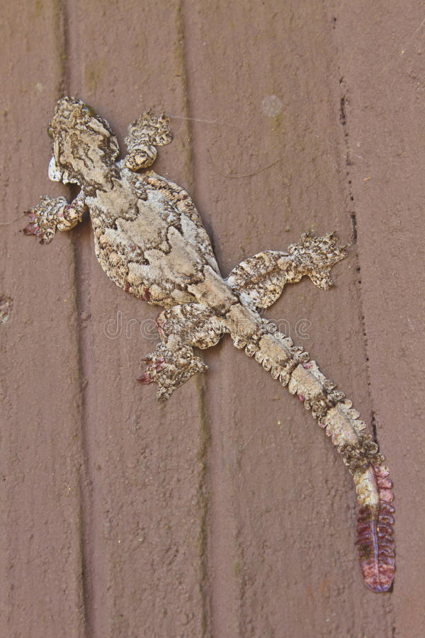 Gecko στον τοίχο στοκ εικόνα με δικαίωμα ελεύθερης χρήσης