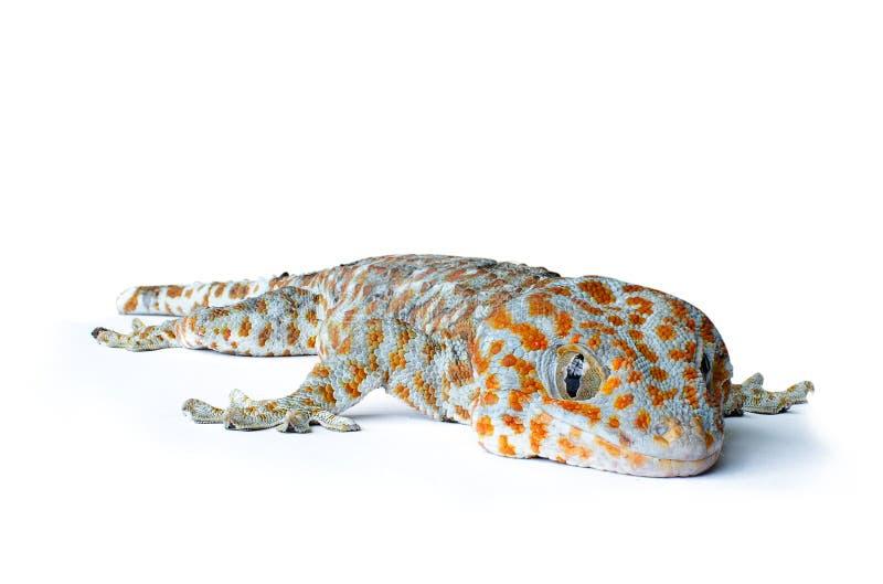 Gecko στο άσπρο υπόβαθρο στοκ φωτογραφίες με δικαίωμα ελεύθερης χρήσης