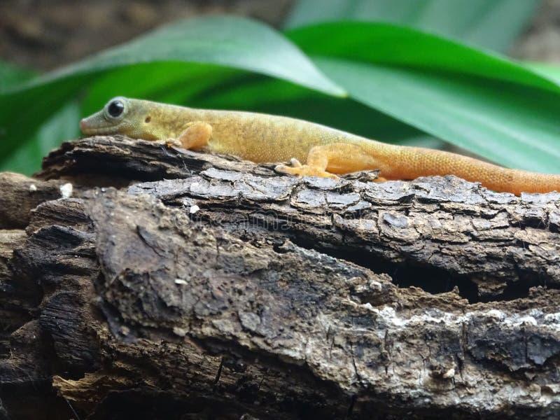 Gecko στο ξύλο στοκ εικόνες με δικαίωμα ελεύθερης χρήσης