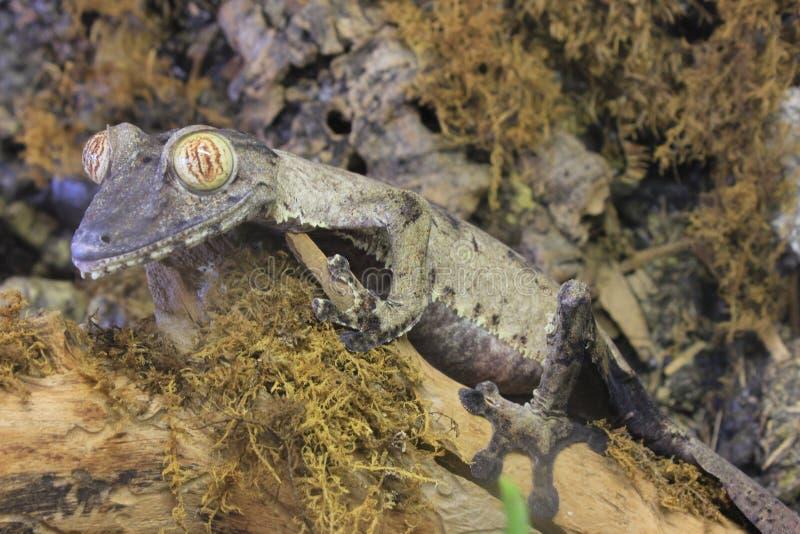 gecko φύλλο που παρακολουθείται γιγαντιαίο στοκ φωτογραφίες με δικαίωμα ελεύθερης χρήσης