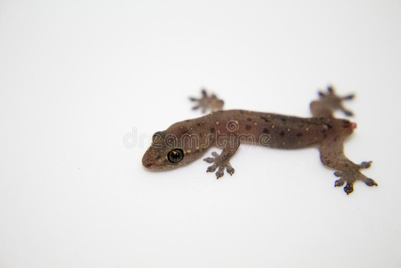Gecko χωρίς ουρά στο άσπρο υπόβαθρο Σαύρα μωρών με τη στήριξη δυνατότητας απώλειας ουρών στοκ εικόνες