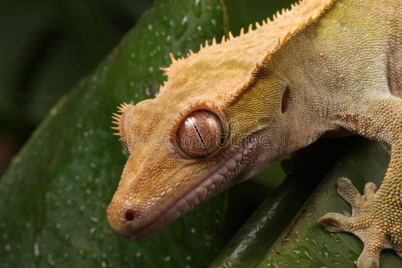 Gecko. Close-up head shot of a New Caledonian Gecko stock photography
