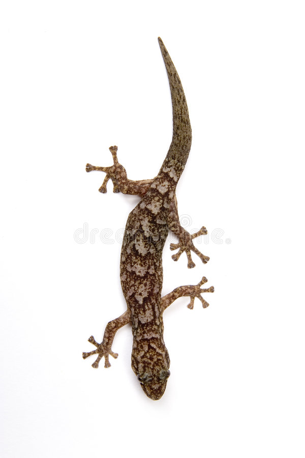 gecko стоковое фото rf